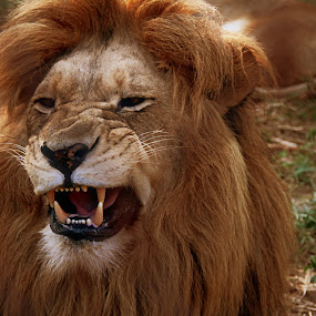 Watch out by Andre Oelofse - Animals Lions, Tigers & Big Cats (  )