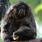White-faced Saki (female)