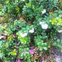 Low-Bush Cranberry