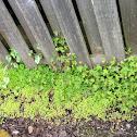 Herb Robert, Wild Geranium