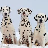 Dog Puzzle: Dalmatian