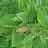 Versute Leafhopper