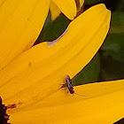 Cotesia wasp