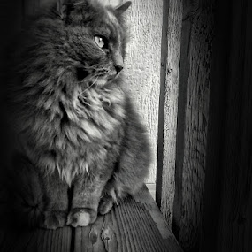by Helen Jamison - Animals - Cats Portraits ( grayscale, kitty cat, cat, sweet, animal photography, black and white, beautiful, white,  )