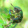 Golden Stag beetle (♀)