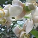 Bunga Jeruk Bali