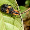 Net-Winged Beetle
