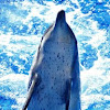Indo-pacific bootle nose Dolphin
