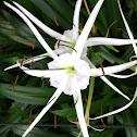 Lily Beach spider