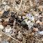 Field Ant