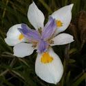 Cape Iris