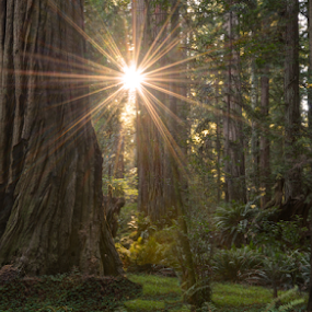 Sunburst in the Stout Grove by Cliff LaPlant - Landscapes Forests ( crop; redwood; tree; tall trees; crescent city; california; wood; hiking; climbing; camping; outdoors; green; color; scenic; scenery; northern california; beauty; landscape; park; national park; redwood national park; redwood state park; wander )