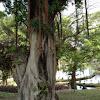 banyan tree, fig tree