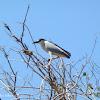 Black crowned night-heron
