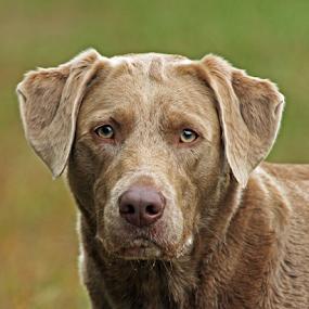 Danni by Dave Hollub - Animals - Dogs Portraits ( labrador retriever, silver labrador,  )