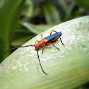 Long horned Beetle.