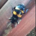 """Burying Beetle (aka """"Sexton Beetle"""")"""