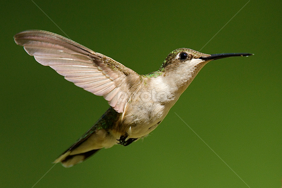 > by Roy Walter - Animals Birds ( wild, flight, animals, wings, hummingbird, feathers, birds )