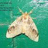 Erebidae, Lymantriinae