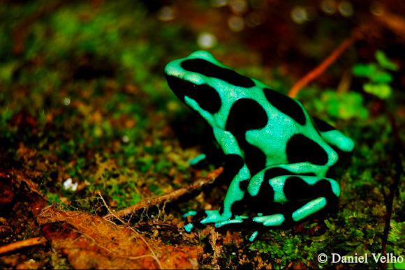 Green and Black Poison Dart Frog | Project Noah
