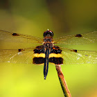 Yellow striped flutterer Dragonfly