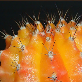 Cactus by Pamela Howard - Nature Up Close Other plants ( plant, orange, garden, flower, cactus )