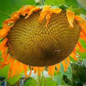 Summer Sunflower by Patrick Jones - Flowers Single Flower ( summer, sunflower, flower, close )