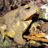 European Toad,Sapo comum