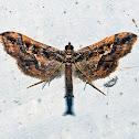 Pyraloid Moth