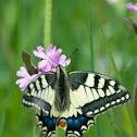 Schwalbenschwanz / Old World Swallowtail