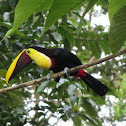 Chestnut-mandibled Toucan, Swainsons toekan