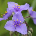 Virginia spiderwort