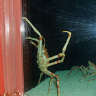Japanese Giant Spider Crab