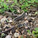 Checkered Garter Snake (Mr. Wiggles)