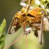 Wheel bug (feeding)