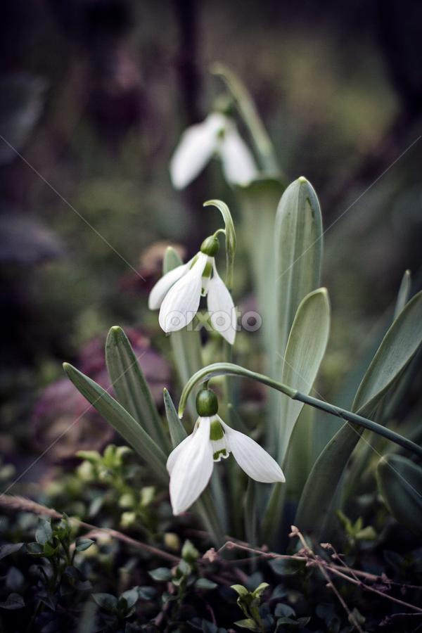 Snowdrops by Goran Jordanski - Flowers Flower Gardens ( snow, snowdrop, white, spring, flower,  )
