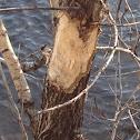 Beaver chewings