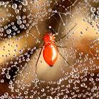 Sheetweb dwarf spider