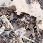 Antlion (Larvae)