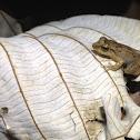 Locust Coqui