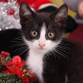 christmas kitty :) by Ellen Badger - Animals - Cats Kittens ( #kitten#9weeks#christmas#pose#pet )