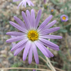 Tansyleaf Tansy-Aster