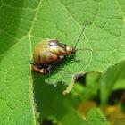 Gravid & Mating Leaf Beetles