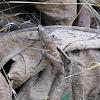 African Foam Grasshopper