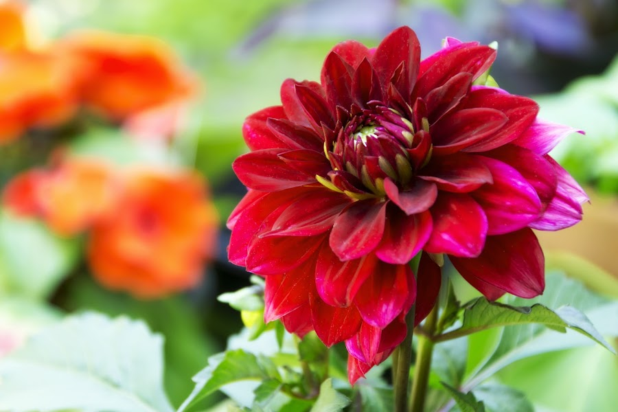Blooming Red by Andrew Hale - Flowers Single Flower ( red, blooming, budding, garden, spring, flower )