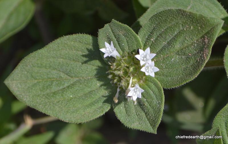 False Ipecac, Mexican clover, Rough Mexican-clover