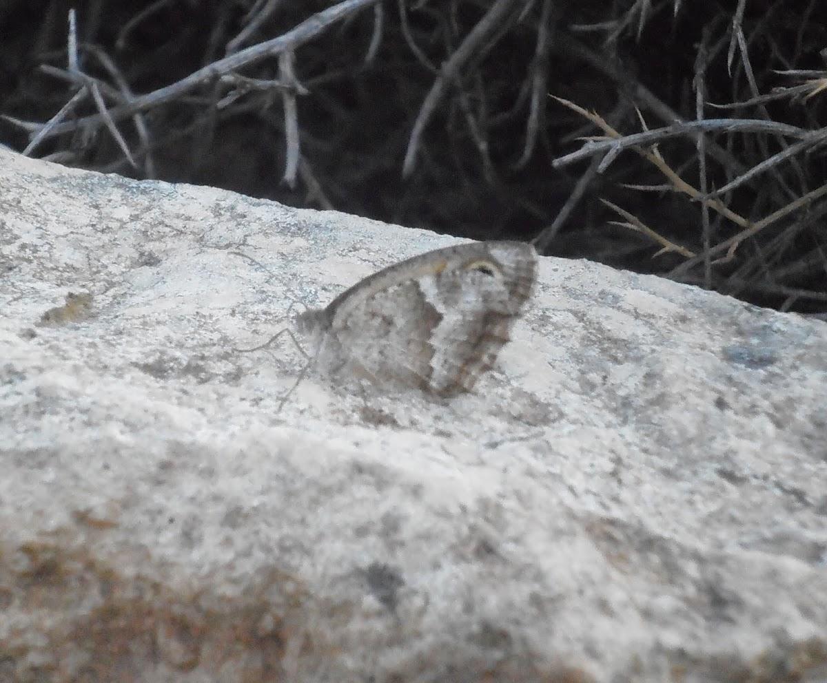 Satyrus [genus]