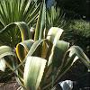Variegated Century Plant (Agave americana var. marginata)