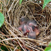 Female Cardinal and Chicks