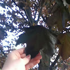 Red Norway Maple
